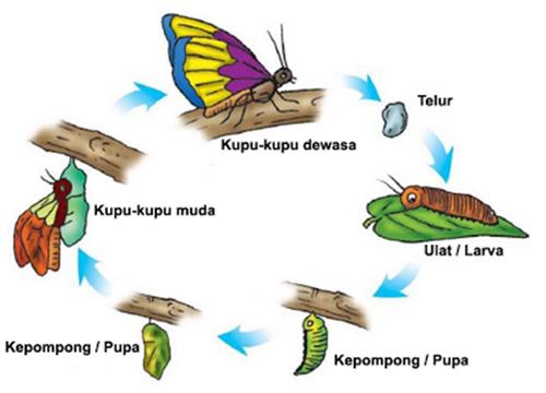 metamorfosis-kupu-kupu-2_thumb2